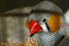 The hoarse beak mandarin Royalty Free Stock Photos