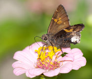 Hoary бабочка края стоковое изображение