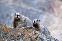 2 Hoary сурока в горах Стоковое фото RF