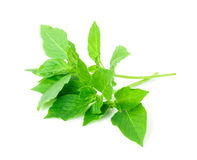 Hoary basil or basilicum on white background, ingredient for coo Royalty Free Stock Image