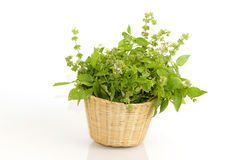 Hoary basil or lemon basil Royalty Free Stock Photography