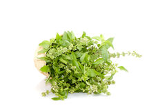 Hoary basil or lemon basil Royalty Free Stock Photos