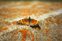 Hoary Comma Orange Black and Yellow Butterfly on a Moss Covered Concrete Block Stock Image