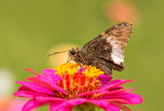 Hoary Edge butterfly on a bright pink Zinnia Royalty Free Stock Image