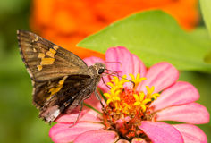Hoary Edge butterfly Stock Images