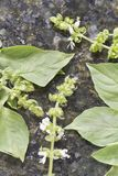 Hoary Lemon Lime Basil Royalty Free Stock Photography