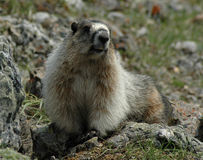 Hoary marmot. A hoary marmot on a mountain in Alberta Stock Photo