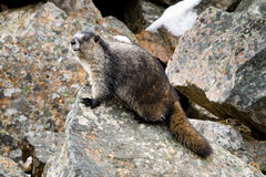 Hoary Marmot. Watching from Rocky Perch Royalty Free Stock Photos