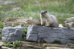 Hoary Marmot. Watching for predators from a rocky ridge in Glacier National Park, Montana Royalty Free Stock Photo