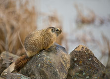 Hoary Marmot #2 Stock Photos