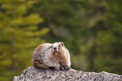 Hoary Marmot. Resting on rock at Banff National Park, Alberta, Canada Stock Image