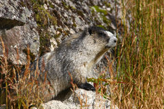 Hoary Marmot. In nice morning light Stock Image