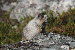Hoary Marmot. Sitting on a boulder in very nice light Royalty Free Stock Images