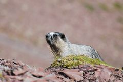 Hoary Marmot. (Marmota caligata Royalty Free Stock Photography