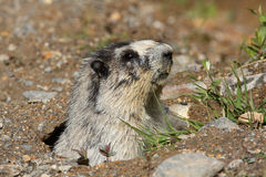 Hoary Marmot. Coming out of his borough Stock Photo