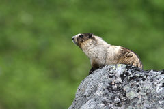 Hoary Marmot. Sitting on a huge boulder Royalty Free Stock Photography