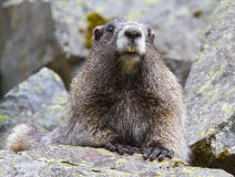 Hoary Marmot. In a rock garden in Yosemite National Park Royalty Free Stock Images