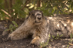Hoary marmot. Young hoary marmot relaxing in bushes Royalty Free Stock Photography