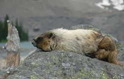 Hoary marmot. In Banff national park Royalty Free Stock Photo