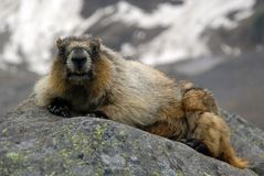 Hoary marmot. In Banff national park Royalty Free Stock Image