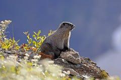 hoary marmot Стоковое Изображение RF