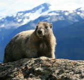Hoary Marmot in the Alpine Royalty Free Stock Images