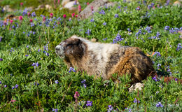 Hoary Marmot eating. Large Hoary marmot eating a few wild flowers before winter time Royalty Free Stock Photo