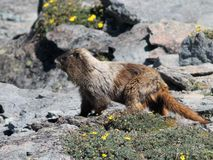 Hoary Marmot with Flowers. A Hoary Marmot on a rocky hillside with flowers Stock Photos