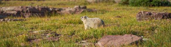 Hoary Marmot Glacier National Park. On Logan Pass Hidden Lake Nature Trail Stock Photos