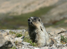 Hoary Marmot Looking at Camera. A hoary marmot in Banff National Park, Alberta, Canada Stock Photos