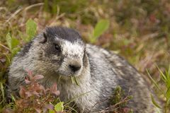 Hoary Marmot lunch Royalty Free Stock Photos