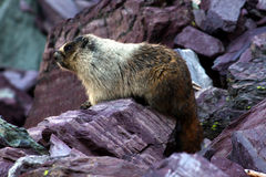 Hoary Marmot (Marmota caligata). Sitting on a rock ledge at Glacier National Park in Montana Royalty Free Stock Photo