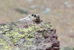 Hoary Marmot. A hoary marmot (Marmota caligata) basks in the sun on a rock in Glacier National Park, Montana, USA Stock Photography