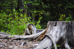 Hoary Marmot (Marmota caligata). Hoary Marmot in a mountain campground in summer Royalty Free Stock Photo