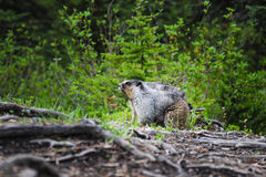 Hoary Marmot (Marmota caligata). Hoary Marmot in a mountain campground in summer Stock Images