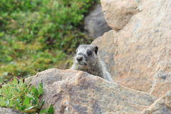 Hoary Marmot in Meadow. A Hoary Marmot peaking out from a rock in an Alberta Wildflower meadow Stock Photo