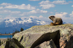 Hoary Marmot in the mountains. A hoary marmot in the mountains on a hot summer day with the mountains in the background Stock Photo