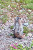 Hoary Marmot posing in the hiking trail to Hidden Lake Overlook.Glacier NP.Montana.USA royalty free stock photography