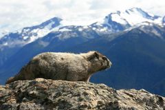 Hoary Marmot Profile. A hoary marmot near Whistler, British Columbia, Canada with Garibaldi Provincial Park in the background Royalty Free Stock Photography