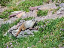 Hoary Marmot on a Rock Glacier National Park Montana. 