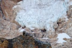 Hoary Marmot on rocks against glacier. Stock Photos