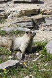 Hoary Marmot on rocky ledge. Hoary marmot sitting on a rocky ledge with flowers Stock Image