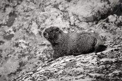 Hoary Marmot in the Rocky Mountains Royalty Free Stock Photo