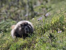 Hoary Marmot Running through a Meadow. A Hoary Marmot running through a meadow on Mount Rainier Royalty Free Stock Photography