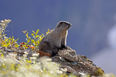 Hoary Marmot. Sitting by a rock in the alpine , enjoying the warm sunny day Royalty Free Stock Image