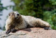 Hoary Marmot warming up Stock Photography