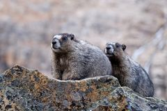 Hoary Marmots close up. Royalty Free Stock Photos