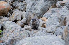 Hoary Marmots - Jasper National Park royalty free stock photo