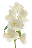 Hoary Mock Orange (Philadelphus Pubescens) Flowers Isolated on White Background Stock Photo