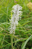 Hoary Plantain Royalty Free Stock Photo